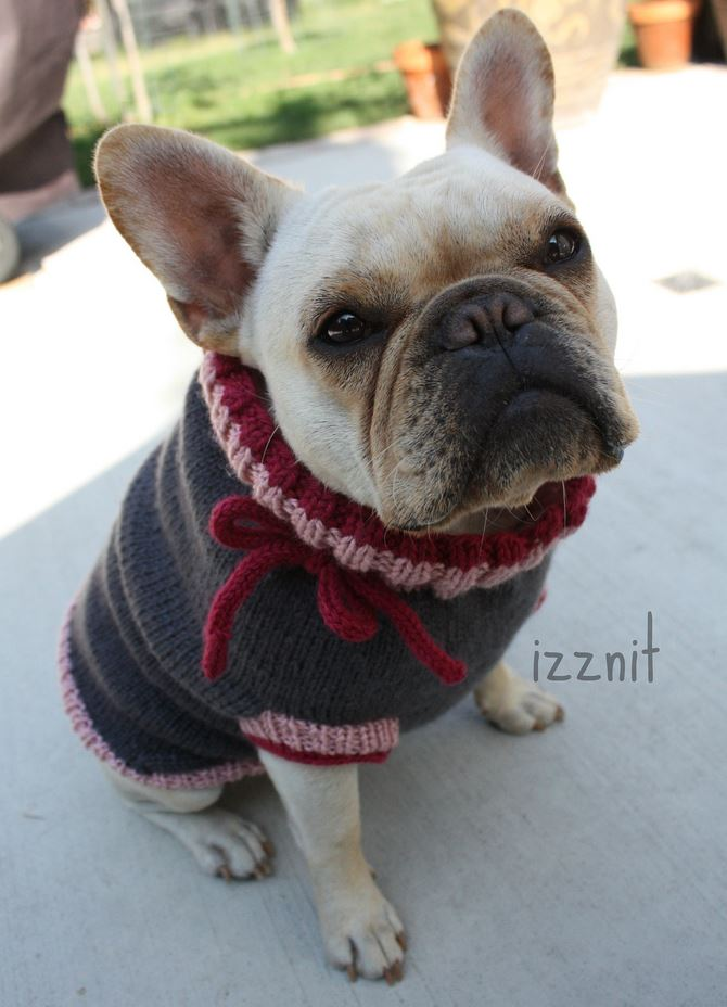 French Bulldog in a Knit Sweater! Who's a Cutie? Who's a Little Cutie?