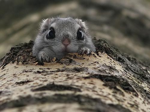 Crochet Momonga … aka Japanese Dwarf Flying Squirrel | KnitHacker