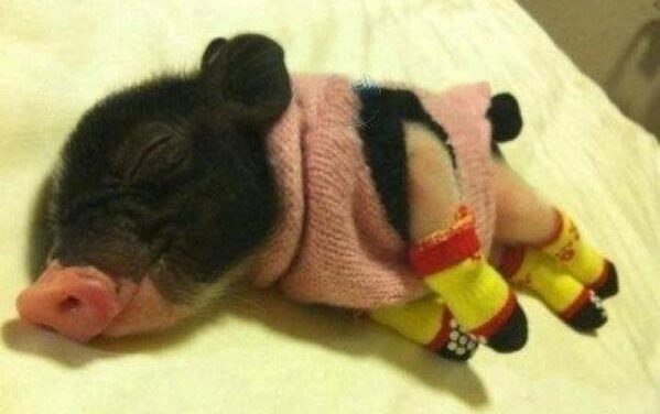 This Sleeping Piglet in Tiny Sweater Will Melt Your Heart