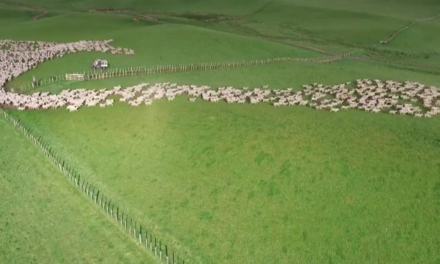Mezmerizing drone footage captures aerial view of sheep herding in New Zealand!