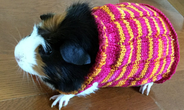 Knitting a Guinea Pig Sweater With Bis-sock Yarn From Biscotte Yarns.