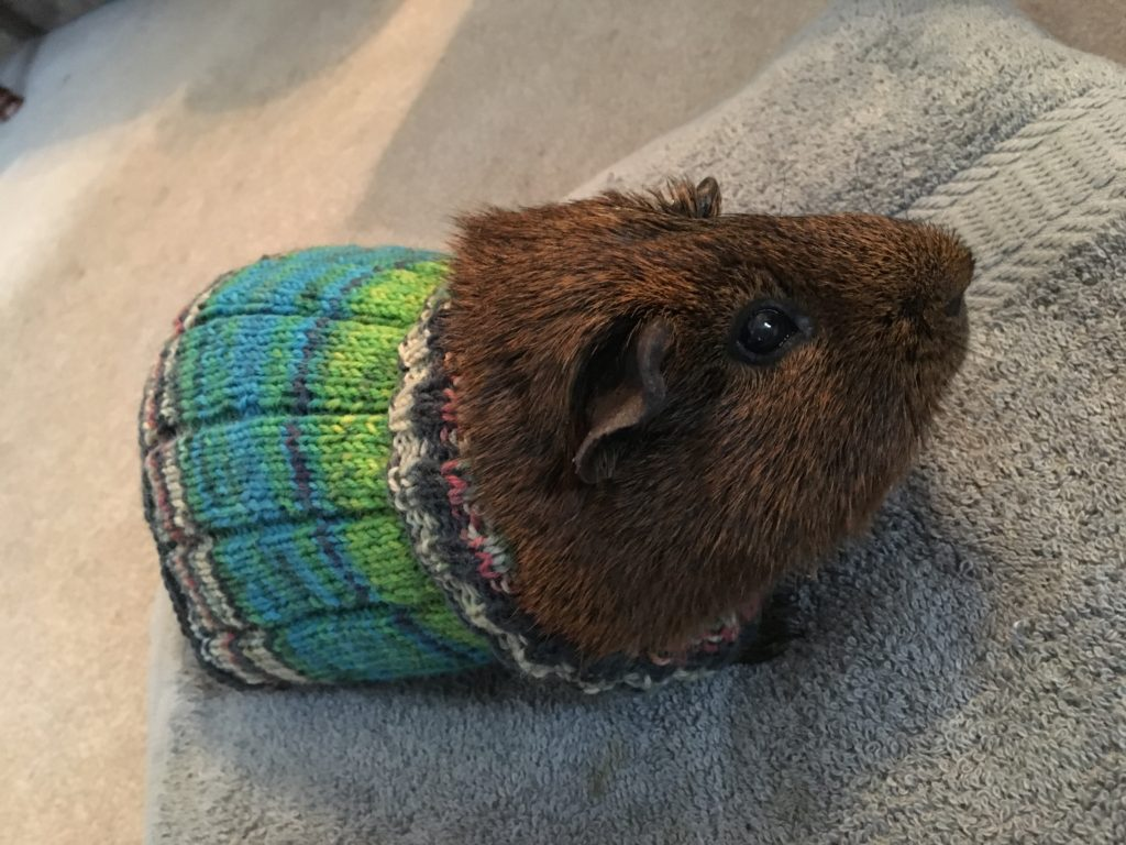 Rupert the Guinea Pig Rocks His New Knit Sweater