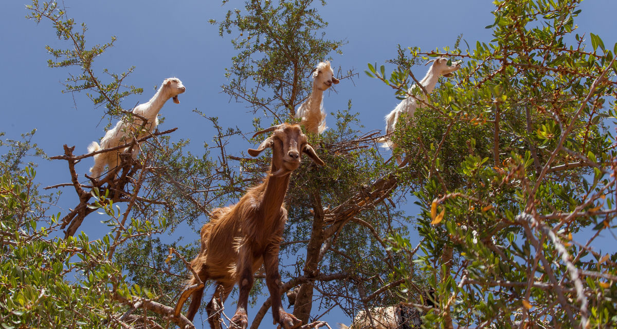 These Goats In Trees Are The Bees Knees