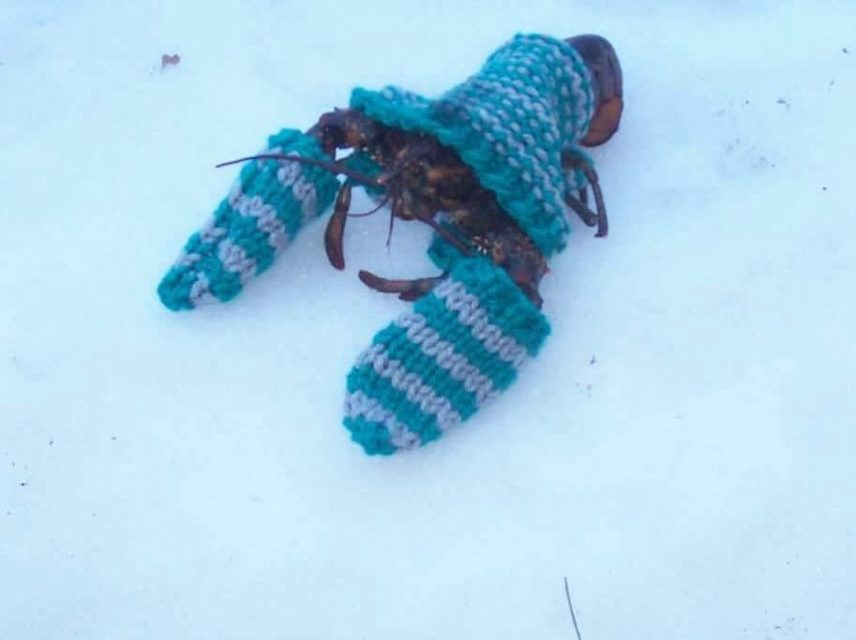 In Wintertime in Maine, The Lobsters Wear Sweaters …