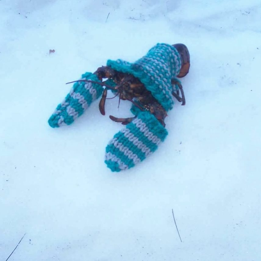 In Wintertime in Maine, The Lobsters Wear Sweaters ...