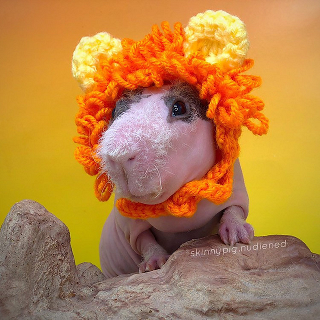 Turn Your Skinny Guinea Pig Into a Cute Lion or Bunny Rabbit ... Cavy Cosplay For Crocheters Is Here!