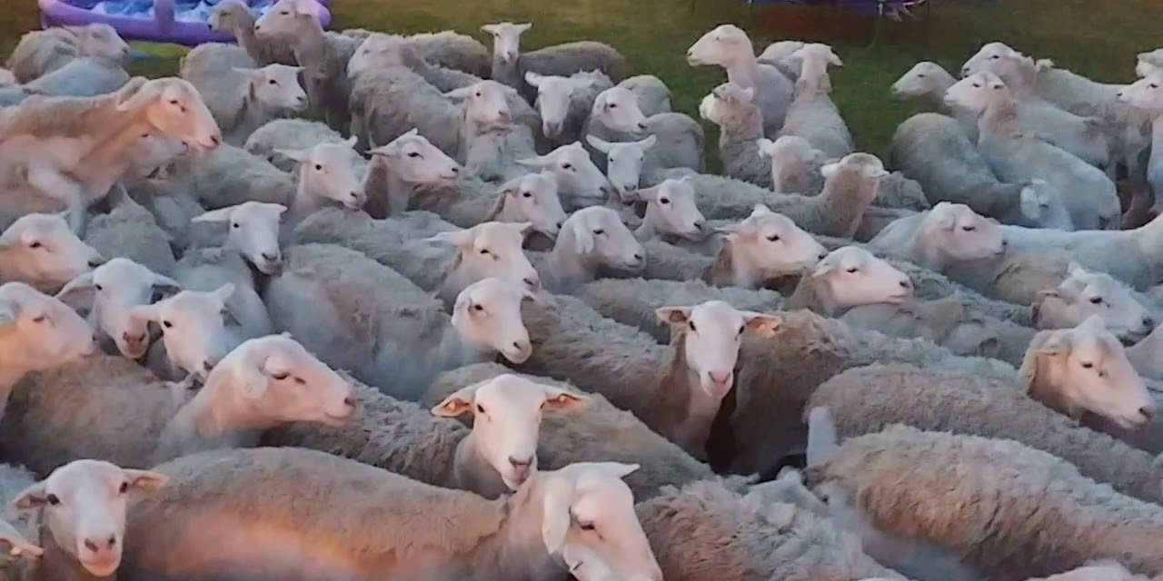 VIDEO: It's a Sheep Invasion! This Is What Happens When You Don't Close The Gate!