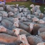 It's a Sheep Invasion! This Is What Happens When You Don't Close The Gate Kids!