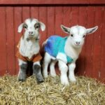 These Baby Goats In Sweaters Will Brighten Your Day!