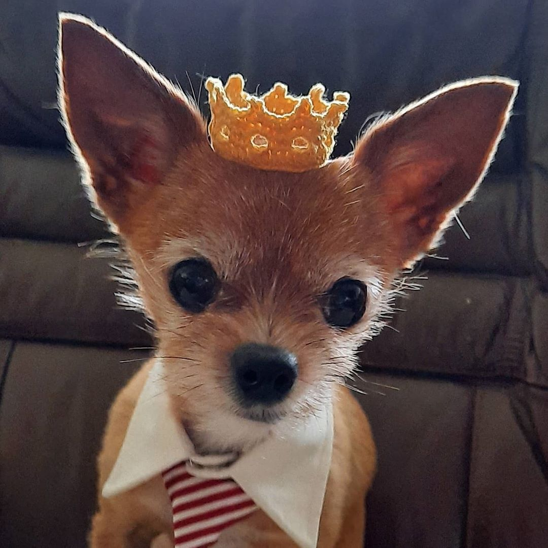 The Cutest Chorkie In A Crochet Crown ... This Doggy Cosplay Is The Adorablest!