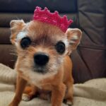 The Cutest Chorkie In A Crochet Crown … This Doggy Cosplay Is The Adorablest!