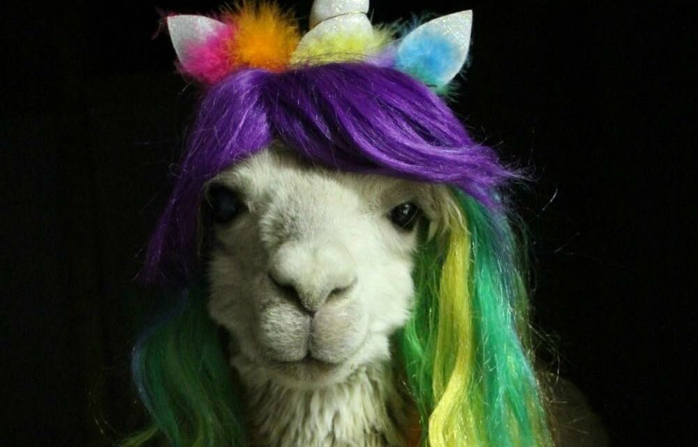 Cody The Cosplay-Loving Alpaca Wearing His Rainbow Best