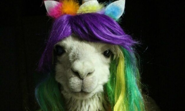 Cody The Cosplay-Loving Alpaca Wearing His Rainbow Best