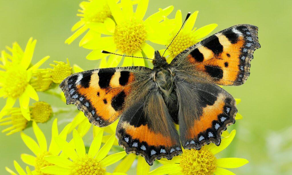 Max Alexander Knit A Small Tortoiseshell Butterfly!